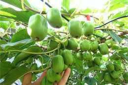 水果不用買,此樹種上兩棵,口味甘甜有營養,結果還能隨手摘