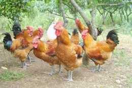 少養幾隻雞鴨,此樹再窮也要種2棵,插土就活,一年2熟好養活