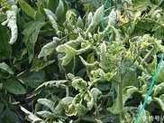 自家種植的番茄,結果得病毒病了怎麼辦這些治療方法很有效