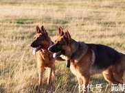 不愧是德國牧羊犬,養了之後,其它狗都不想養了!