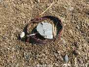 志願者搜救帶獸夾的黑臉琵鷺未果,卻發現多隻中獸夾死亡鳥類