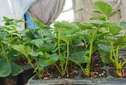 草莓苗育苗中期雨後如何預防炭疽病?