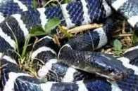 國服第一——銀環蛇(神經毒)