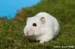 如何給倉鼠搭配均衡的飲食?