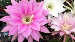 """4種仙人球,個個""""花機器"""",隨便養一盆,不知疲倦四季開花"""