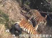 從古到今, 為何吃過人的老虎一定要擊斃? 因為老虎會上癮?