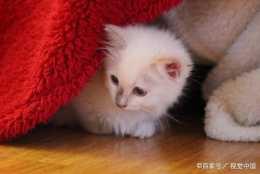 布偶貓怎麼餵養?漂亮可愛的布偶貓吃什麼貓糧好?