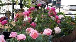 養花必備3種大補肥,專治黃葉爛根不開花,新手都來來學學